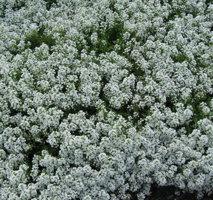 Sweet Alyssum: How to Grow and Care for This Flowering ...